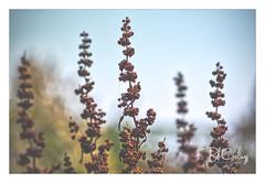 We had a good summer (Bob Geilings) Tags: nature flora bokeh background summer plant vegetation plantlife brown