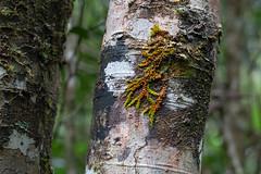 orange and green (julie burgher) Tags: washpoolwalk washpoolnationalpark northernnewsouthwales australia rainforest macromitrium moss liverwort