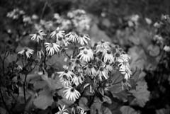 (bentaf) Tags: mamiya msx500 blackwhite bw analog film adox silvermax adoxsilvermax flowers