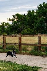 DSC00487 (k3d04k) Tags: dog dogs cute running jumping bounding australian playing