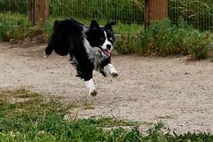 DSC00486-2 (k3d04k) Tags: dog dogs cute running jumping bounding australian playing