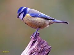 Herrerillo Común (Cyanistes caeruleus)  (36) (eb3alfmiguel) Tags: aves insectívoros passeriformes paridae herrerillo común cyanistes caeruleus