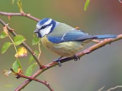 Herrerillo Común (Cyanistes caeruleus)  (15) (eb3alfmiguel) Tags: aves insectívoros passeriformes paridae herrerillo común cyanistes caeruleus