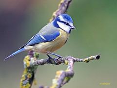 Herrerillo Común (Cyanistes caeruleus)  (8) (eb3alfmiguel) Tags: aves insectívoros passeriformes paridae herrerillo común cyanistes caeruleus