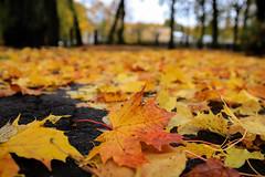 Autumn leafs (JaaniicB) Tags: canon eos 77d simga 1750 mm f28 leaf orange leafs park yellow red tarmac autumn fall