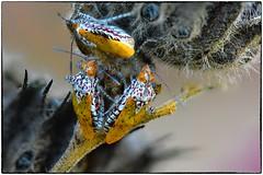 Niesthrea louisianica (EXPLORE, Oct23 2019, #93) (RKop) Tags: hemiptera unkhemiptera niesthrealouisianica d500 nikkor200f4macro zerenestacker raphaelkopanphotography