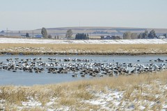 Catteland Slough (casparc) Tags: 2019 bird goose snowgoose greaterwhitefrontedgoose