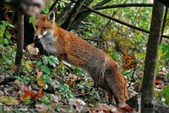 Renard roux (Vulpes vulpes) (134) (Didier Schürch) Tags: nature foret herbe animal mammifère renardroux renard vulpesvulpes wildlifeeurope wildlife ngc switzerland nikkor fox
