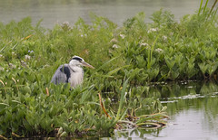 Photo of Grey Heron
