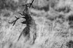 Buck Scenting (andy_AHG) Tags: wildlife autumn stag fallowdeerbuck antlers animals nikond300s yorkshire ruttingseason
