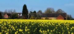 Fields of Gold (kate willmer) Tags: rapeseed gold yellow flower houses sun england fields countryside