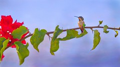 Happy Life (Christina's World :) Tags: 2160 hummingbird bird brightcolors pastels blue bright california colorful creative dramatic dreamy flowers garden joy sky light leaves bougainvillea redflowers minimalism nature painterly plants red scenic textures topaz branch unitedstates vegetation vividcolors autumn topclass fragiletouch coth5