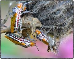 Niesthrea louisianica (EXPLORE, Oct23 2019, #67) (RKop) Tags: hemiptera unkhemiptera niesthrealouisianica d500 nikkor200f4macro zerenestacker raphaelkopanphotography