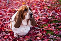 Bella the Basset (411 Operator) Tags: fall autumn britishcolumbia canada hound bassethound basset dog
