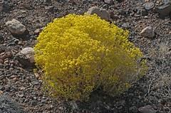 Broom Snakeweed (Gutierrezia sarothrae) (Ron Wolf) Tags: asteraceae broomsnakeweed gutierreziasarothrae nationalpark wupatkinationalmonument botanical botany desert flower nature wildflower arizona