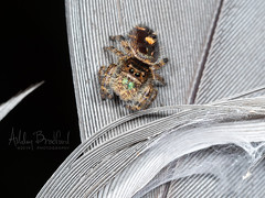 Feather and Fuzz (zxgirl) Tags: 60mmomzd arachnida arthropods em5ii md salticidae animals autumn feather macro nature spiders trip shadyside maryland unitedstatesofamerica bug bugs spider animal animalia arthropod arthropoda chelicerate chelicerates chelicerata arachnid arachnids araneae araneomorphae entelegynes jumpingspider jumpingspiders salticid dendryphantinae phidippus phidippusaudax boldjumper taxonomy:binomial=phidippusaudax pa130126 gbhe arachtober arachtober19