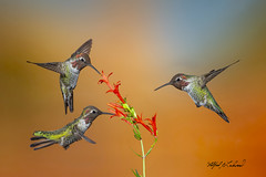 Anna's Hummingbird_T3W5095_5099_5112_Merge (Alfred J. Lockwood Photography) Tags: bird birdsinflight annashummingbird morning summer wildlife sedona arizona nature composite photomanipulation alfredjlockwood
