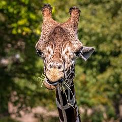 Hay You! (Wes Iversen) Tags: bokehwednesday detroitzoo giraffa hbw michigan royaloak animals bokeh chewing giraffe hay mammals square nikkor80400mm sunrays5