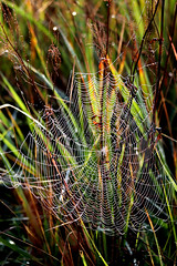 If you find a field full of hundreds of wet spiderwebs glowing in the sun, you know, you have to keep it in your mind and on a picture (Patricia Buddelflink) Tags: morning dew spiderweb field nature magic moment
