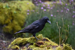 Carrion Crow (Corvus corone) (andrewmckie) Tags: corvuscorone carrioncrow crow rbge royalbotanicgardens edinburgh birds wildlife scottishwildlife scottish scotland