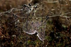 Magic nature art (Patricia Buddelflink) Tags: spider web nature sun