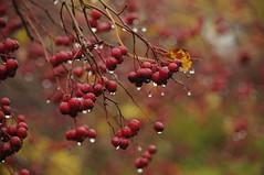 Have You Ever Seen The Rain (MeEvita) Tags: nikon d300 nature nypon hip drops detail autumn sweden evam