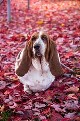 Basset in the leaves (411 Operator) Tags: autumn britishcolumbia canada leaves dog hound bassethound basset