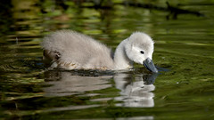 Cygnet (2/2) (Franck Zumella) Tags: cygne swan oiseau bird lake lac water eau juvenile jeune chick poussin white blanc wildlife nature reflexion reflection sony a7s tamron 150600 leaf feuille leaves composition animal young cygnet light lumiere