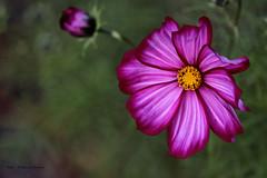Cosmee (Patricia Buddelflink) Tags: garden flower cosmee nature