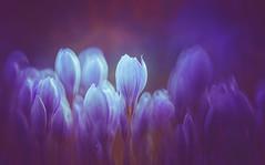 Autumn Crocus (Dhina A) Tags: sony a7rii ilce7rm2 a7r2 a7r minolta rf rokkorx 250mm f56 mirror reflex minolta250mmf56 md prime rokkor bokeh manualfocus autumn crocus flower