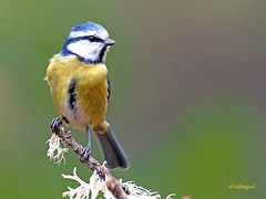 Herrerillo Común (Cyanistes caeruleus)  (22) (eb3alfmiguel) Tags: aves insectívoros passeriformes paridae herrerillo común cyanistes caeruleus