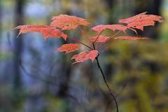 Autumn Leaves (Faron Dillon) Tags: leaves trees red fall autumn color colour sony a6500 70200 nature richmondhill ontario walk explore trails outdoors bokeh