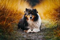 Expressionist (der_peste (on/off)) Tags: bokeh dog australianshepherd aussie dof expression facial mimic eyes dogface colors blacktri canine sonya7iii