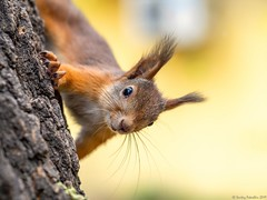 Portrait of a squirrel on a tree trunk (Berilyon) Tags: squirrel autumn cute curious orange animal nature portrait wildlife fluffy spring summer tree adorable brown mammal red wild bark fur sciurus funny peek trunk forest beauty eye hidden behind face posing wood branch bushy creature detail hair hide look natural one outdoor park peeking pretty small smiling vulgaris