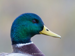 mallard portrait (Brian Eagar Nature Photography) Tags: nature wildlife animal olympus em1m2 em1mii utahnature utahwildlife utah
