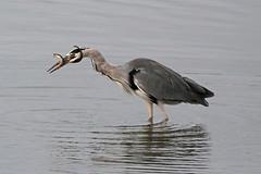 Wrestling match (DODO 1959) Tags: wildlife greyheron animal avian birds eel nature fauna outdoor water canon 100400mmmk2 7dmk2 carmarthenshire wales llanelli wwt