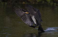 Cormorant (Ann and Chris) Tags: cormorant landing lake wildlife nature waterbird great