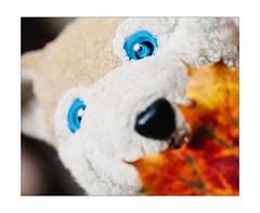 Wolfi wünscht euch einen schönen Herbst (WolfiWolf-presents-WolfiWolf) Tags: wolfiwolf herbst herbstlich derherbstlichste portrait wolf eneamaemü blue butlers blueeyes eyes enea farky fuddlers fresko fest besonders besonderheit änigkäät gern geruch huldvoll huldigtmeinewerke hungary jazzinbaggies joy kleinewolfis kurzvordemvollmond ich i ibindaslicht ichträumegernvonkleinenwolfis kalt lupus lupuslupus licht pups pelz pantoffln party zügellos zen reise riechkolben rot öhrchen ohneohrwascherln verdauung versenkung vollendung dirigent derprächtigste derschönste er quantensuppe quantenuniversum blättchen herbstlaub marieschen