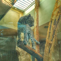 Panthera Pardus (Mike Bonitz) Tags: germany deutschland tierpark hallesaale saxonyanhalt sachsenanhalt bergzoo zoo leopard pantherapardus instagram huaweip20 animals tiere