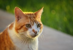 Gino (En memoria de Zarpazos, mi valiente y mimoso tigre) Tags: cat kitten chat gatto gato garden grass giardino jardín greeneyes orangeandwhitecat gingerandwhitecat gino bokeh