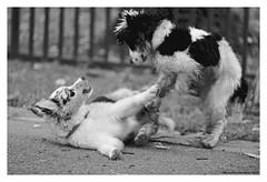 """Canem Fabulas VI"" (TBWLC Photography) Tags: fdrouet tbwlc chien dog perro cane nb bw monochrome nikon d610"