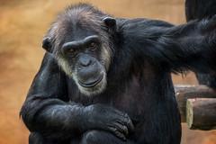 Schimpanse (Jutta Achrainer) Tags: achrainerjutta lissabon sonyrx10iv schimpanse jardimzoologicolissabon zoo tierpark affe