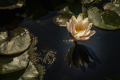 2U5A3192-Edit.jpg (Parapan) Tags: water lily canon7dii kewgardens flowers