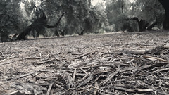 A Place in The World (Tomás Hornos) Tags: leaves hojas feuilles rasdesuelo perspectiva ángulogusano ángulo móvil mobilephotografy mobile smartphone olivos aceituna jaén sierradesegura tierra maleza suelo bq