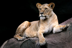 The Queen (HWHawerkamp) Tags: lion lioness no people outdoors animal one big cat portrait day