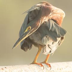The Twists and Turns of a Green Heron (Mark Schocken) Tags: butoridesvirescens greenheron markschocken schockenphotography