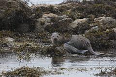 otter (simonrowlands) Tags: otter lutralutra scottishwildlife