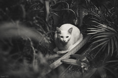 猫 (fumi*23) Tags: ilce7rm3 sony 55mm sel55f18z sonnartfe55mmf18za a7r3 animal sonnar monochrome blackandwhite bw cat chat katze neko 猫 ねこ ソニー