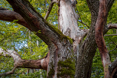 Forest tree (BenedekM) Tags: nikon nikond3200 d3200 nagybörzsöny borszony hungary magyarorszag nogradmegye nograd roads hiking forest woods erdo hungarianforest trees leaves fallen september2019 2019 sigma sigma1750f28 nature rocks mountains hills shadow lights bush moss