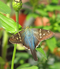 Long-tailed skipper in zinnias - yesterday  (Urbanus proteus) (Vicki's Nature) Tags: longtailedskipper large blue skipper spots butterfly southern vickisnature yard zinnias bud red colorful canon s5 3589 urbanusproteus